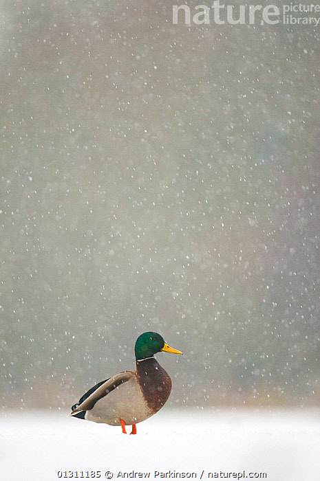Mallard (Anas platyrhynchos) male standing on a frozen lake during a snowfall, Derbyshire, UK. 