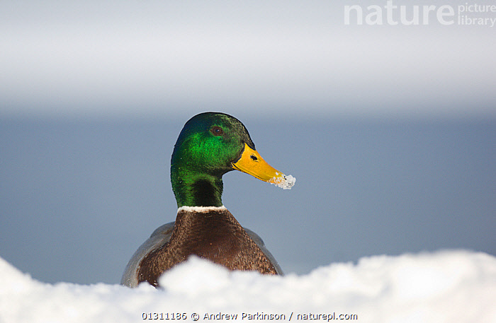 Mallard (Anas platyrhynchos) head portrait of male standing on a frozen lake during a snowfall, Derbyshire, UK. 