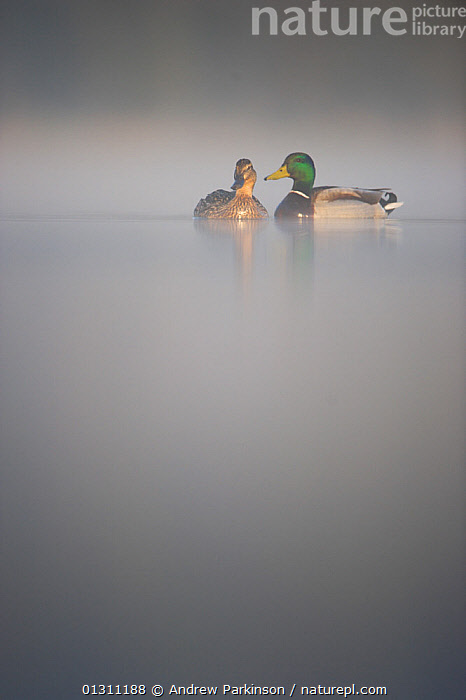 Pair of Mallard ducks (Anas platyrhynchos) on a lake in dawn, Derbyshire, UK. April   (non-ex), ATMOSPHERIC,bad weather,BIRDS,CALM,catalogue3,copyspace,DAWN,differential focus,duck,DUCKS,grey,human attribute,Lake,LAKES,MALE FEMALE PAIR,MIST,misty,negative space,Nobody,outdoors,Pair,romance,secrecy,selective focus,soft focus,SPRING,two animals,UK,VERTEBRATES,VERTICAL,WATER,WATERFOWL,whispering,ENGLAND,Wildfowl,Europe,WEATHER ,United Kingdom, Andrew Parkinson