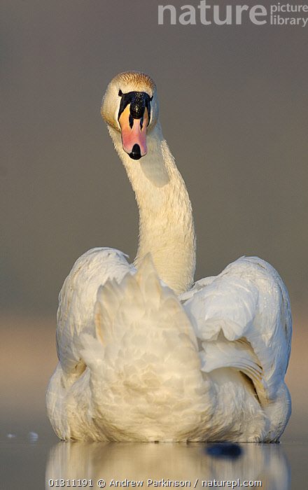 Mute swan (Cygnus olor) portrait on a lake. Derbyshire, UK, March. (non-ex), BIRDS,LAKES,PEACEFUL,PORTRAITS,SWANS,UK,VERTEBRATES,VERTICAL,WATER,WATERFOWL,WINTER,Concepts,Europe,United Kingdom,Wildfowl, Andrew Parkinson