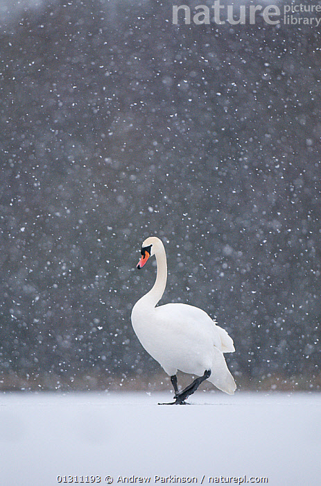 Mute swan (Cygnus olor) walking across a frozen lake during a blizzard. Derbyshire, UK, January (non-ex)  ,  BIRDS,ICE,LAKES,PORTRAITS,SNOW,SNOWING,SWANS,UK,VERTEBRATES,VERTICAL,WALKING,WATERFOWL,WEATHER,WINTER,Europe,United Kingdom,Wildfowl  ,  Andrew Parkinson
