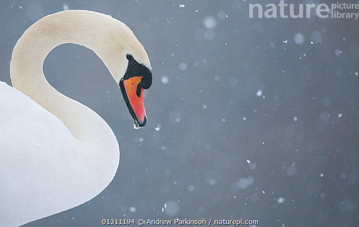 Mute swan (Cygnus olor) head portrait in profile during a blizzard. Derbyshire, UK, January (non-ex), ARTY SHOTS,BIRDS,CLOSE UPS,LAKES,neck,PORTRAITS,PROFILE,SNOW,snowing,SWANS,UK,VERTEBRATES,WATERFOWL,WEATHER,WINTER,Europe,United Kingdom,Wildfowl, Andrew Parkinson