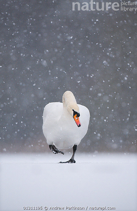 Mute swan (Cygnus olor) walking across frozen lake during a blizzard. Derbyshire, UK, January (non-ex), BIRDS,Blizzard,catalogue3,close up,CLOSE UPS,Derbyshire,DETERMINATION,ENGLAND,front view,Frozen,full length,ICE,Lake,LAKES,one animal,outdoors,PORTRAITS,resilience,SNOW,snowing,SWANS,UK,VERTEBRATES,VERTICAL,WALKING,WATERFOWL,WEATHER,WILDLIFE,WINTER,Europe,United Kingdom,Wildfowl, Andrew Parkinson