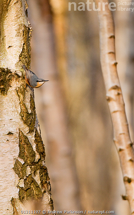 Nuthatch (Sitta europaea) decending the trunk of  Silver Birch (Betula verrucsa) tree, Derbyshire, UK. December (non-ex)  ,  BIRDS,FORAGING,HABITAT,NUTHATCHES,TREES,UK,VERTEBRATES,VERTICAL,WINTER,WOODLANDS,PLANTS,Europe,United Kingdom  ,  Andrew Parkinson