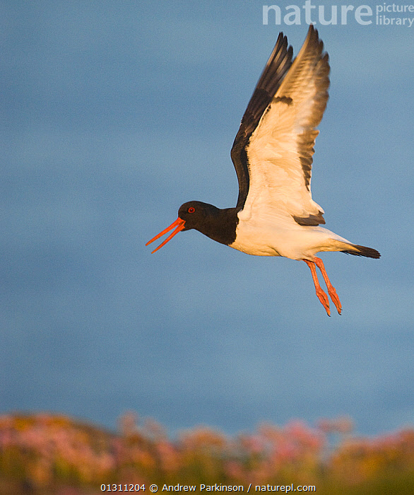 Oystercatcher (Haematopus ostralegus) calling as it takes flight over shoreline, Shetland Islands, Scotland, UK, June