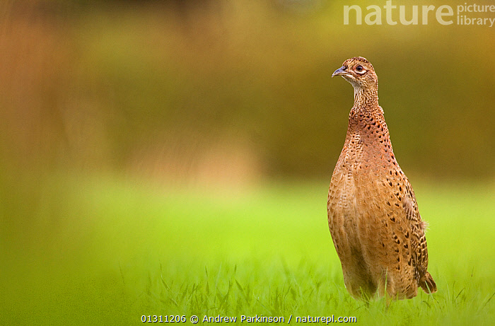 Pheasant (Phasianus colchicus) juvenile female standing alert in a field. Derbyshire, UK, July. 