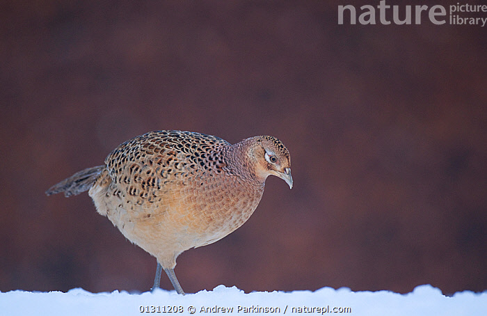 Pheasant (Phasianus colchicus) female walking in  snow covered field. Mid Wales, UK, December (non-ex), BIRDS,FEMALES,FORAGING,GALLIFORMES,GAME BIRDS,PHEASANTS,SNOW,UK,VERTEBRATES,WALES,WINTER,Europe,United Kingdom, Andrew Parkinson