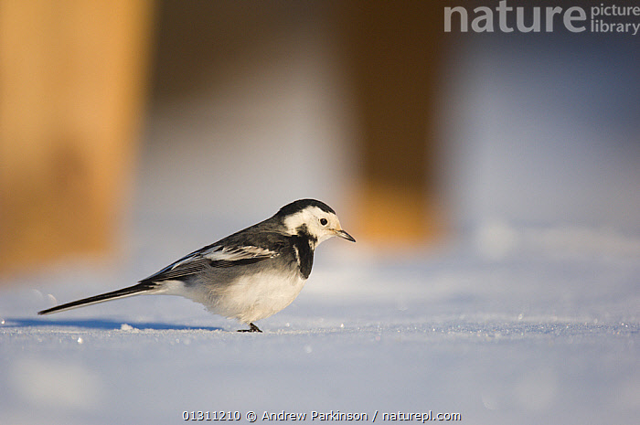 Pied wagtail (Motacilla alba yarrellii) foraging among picnic tables on snow covered ground. Derbyshire, UK, January (non-ex)  ,  BIRDS,ENGLAND,FORAGING,SNOW,UK,URBAN,VERTEBRATES,WAGTAILS,WINTER,Europe,United Kingdom  ,  Andrew Parkinson