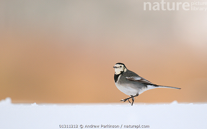 Pied wagtail (Motacilla alba yarrellii) walking over snow covered ground. Derbyshire, UK, January (non-ex)  ,  BIRDS,ENGLAND,SNOW,UK,VERTEBRATES,WAGTAILS,WALKING,WINTER,Europe,United Kingdom  ,  Andrew Parkinson