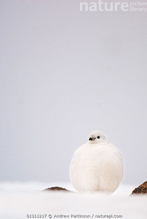 Ptarmigan (Lagopus mutus) female in white winter plumage, on snow covered ground, Cairngorm Mountains, Scotland, UK. February.     (non-ex), CAMOUFLAGE,FEMALES,LANDSCAPES,MOORLAND,MOUNTAINS,NP,SCOTLAND,SNOW,UK,VERTICAL,WINTER,National Park,Europe,United Kingdom, Andrew Parkinson
