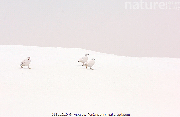 Three Ptarmigan (Lagopus mutus) in white winter plumage, running over snow covered ground, Cairngorm Mountains, Scotland, UK. February. 