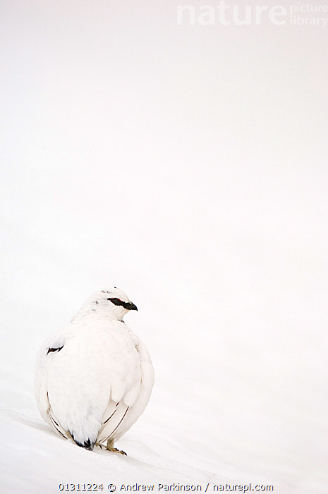 Ptarmigan (Lagopus mutus) male in white winter plumage, on snow covered ground, Cairngorm Mountains, Scotland, UK. February.     (non-ex), BIRDS,CAMOUFLAGE,GALLIFORMES,GAME BIRDS,GROUSE,LANDSCAPES,MALES,MOORLAND,MOUNTAINS,NP,SCOTLAND,SNOW,UK,VERTEBRATES,VERTICAL,WINTER,National Park,Europe,United Kingdom, Andrew Parkinson