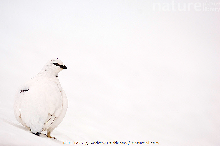 Ptarmigan (Lagopus mutus) male in white winter plumage, on snow covered ground, Cairngorm Mountains, Scotland, UK. February. 