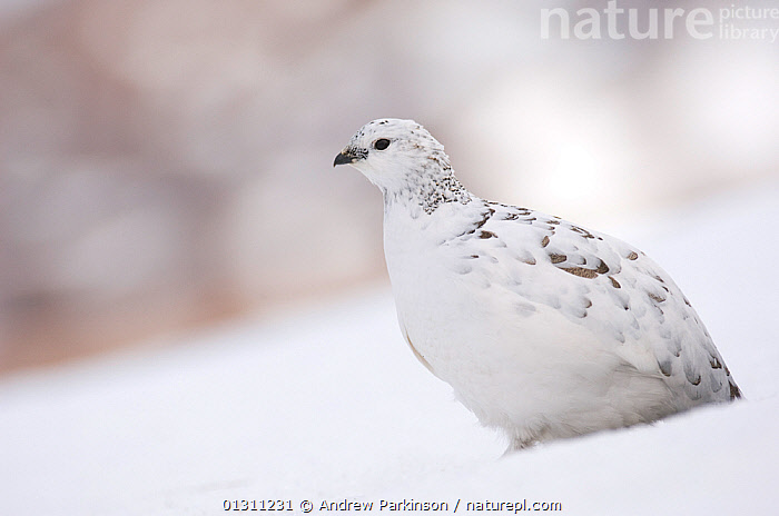Ptarmigan (Lagopus mutus) female in white winter plumage standing in snow covered field.  
