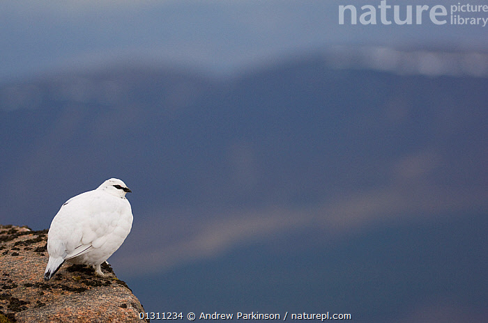 Ptarmigan (Lagopus mutus) male in white winter plumage at the top of a mountain ridge. Cairngorm Mountains, Scotland, UK. February.  (non-ex), BIRDS,GALLIFORMES,GAME BIRDS,GROUSE,LANDSCAPES,MALES,MOUNTAINS,NP,SCOTLAND,SNOW,UK,VERTEBRATES,WINTER,National Park,Europe,United Kingdom, Andrew Parkinson