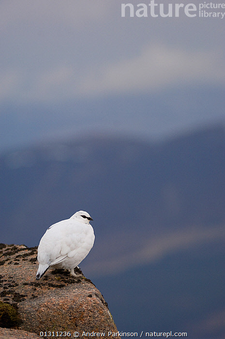 Ptarmigan (Lagopus mutus) male in white winter plumage at the top of a mountain ridge. Cairngorm Mountains, Scotland, UK. February.  (non-ex), BIRDS,GALLIFORMES,GAME BIRDS,GROUSE,LANDSCAPES,MALES,MOUNTAINS,NP,SCOTLAND,SNOW,UK,VERTEBRATES,VERTICAL,WINTER,National Park,Europe,United Kingdom, Andrew Parkinson