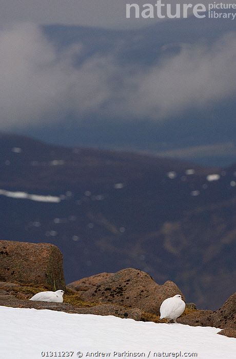 Two Ptarmigan (Lagopus mutus) in white winter plumage at the top of a mountain ridge. Cairngorm Mountains, Scotland, UK. February.  (non-ex), BIRDS,GALLIFORMES,GAME BIRDS,GROUSE,LANDSCAPES,MALES,MOUNTAINS,NP,SCOTLAND,SNOW,UK,VERTEBRATES,VERTICAL,WINTER,National Park,Europe,United Kingdom, Andrew Parkinson