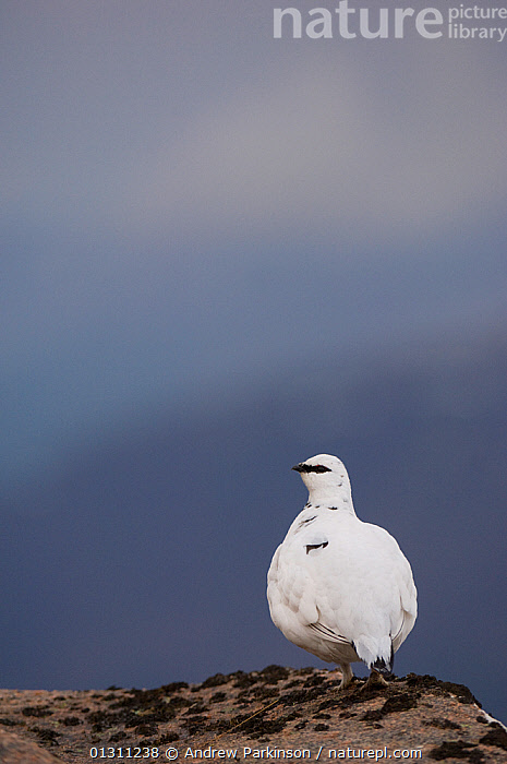 Ptarmigan (Lagopus mutus) male in white winter plumage at the top of a mountain ridge. Cairngorm Mountains, Scotland, UK. February.  (non-ex)  ,  BIRDS,GALLIFORMES,GAME BIRDS,GROUSE,LANDSCAPES,MALES,MOUNTAINS,NP,SCOTLAND,SNOW,UK,VERTEBRATES,VERTICAL,WINTER,National Park,Europe,United Kingdom  ,  Andrew Parkinson