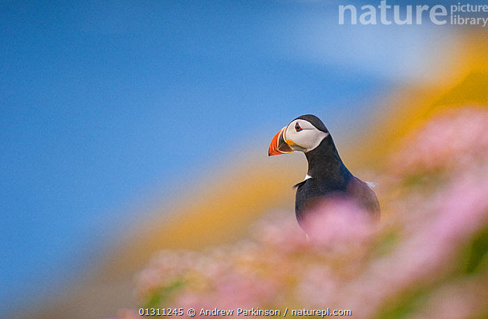 Puffin (Fratercula arctica) portrait sitting amongst flowering coastal Thrift (Armeria maritima) with the sea behind. Shetland Islands, Scotland, UK, July