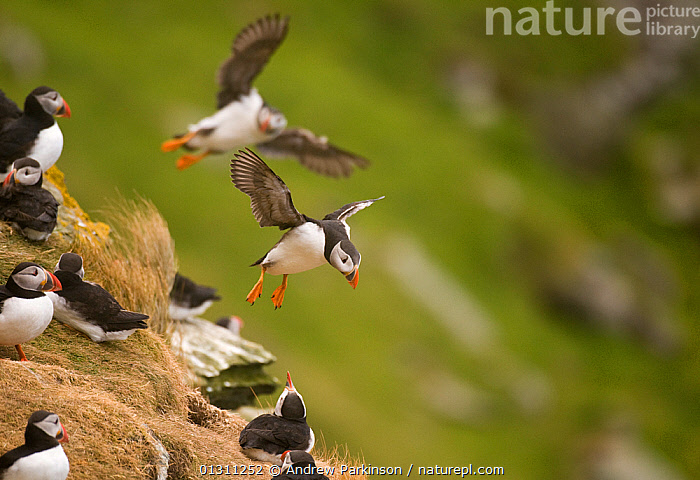 Puffins (Fratercula arctica) in flight, preparing to land on cliff top, Shetland Islands, Scotland, UK, July