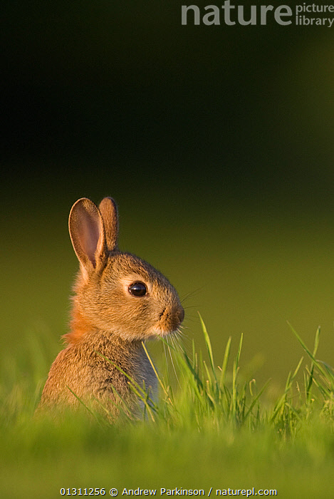 Juvenile Rabbit (Oryctolagus cuniculus) head portrait, sitting upright near their warren. Norfolk, UK. June (non-ex), BABIES,ENGLAND,JUVENILE,LAGOMORPHS,MAMMALS,PORTRAITS,RABBITS,UK,VERTEBRATES,VERTICAL,YOUNG,Europe,United Kingdom, Andrew Parkinson