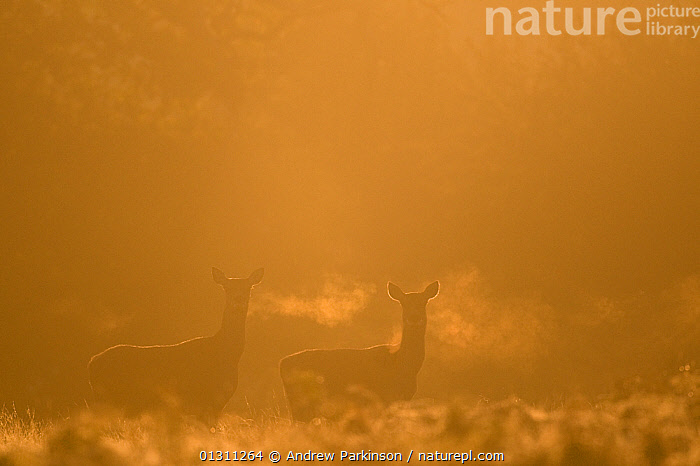 Red deer (Cervus elaphus) hind in early morning mist, Leicestershire, UK. October. 