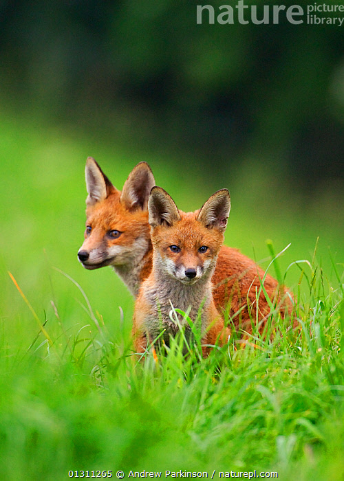 Red fox (Vulpes vulpes) portrait of cub and adult near their den, Derbyshire, UK   (non-ex), CANIDS,CARNIVORES,ENGLAND,EYES,FOXES,JUVENILE,MAMMALS,PORTRAITS,TWO,UK,VERTEBRATES,VERTICAL,Europe,United Kingdom,Dogs, Andrew Parkinson