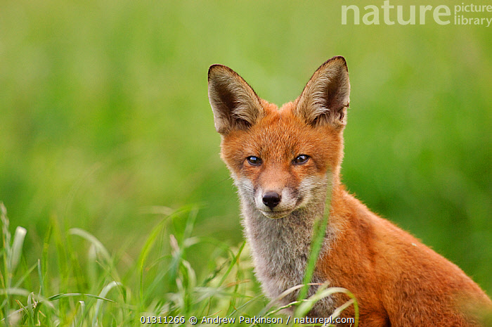 Red fox (Vulpes vulpes) head portrait of cub near its den, Derbyshire, UK 