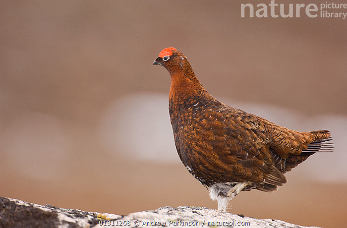 Red grouse (Lagopus lagopus scoticus) male in profile in the Scottish mountains. Cairngorms National Park, Scotland, UK, April (non-ex), BIRDS,GALLIFORMES,GAME BIRDS,GROUSE,MALES,NP,SCOTLAND,SPRING,VERTEBRATES,National Park,Europe,United Kingdom, Andrew Parkinson