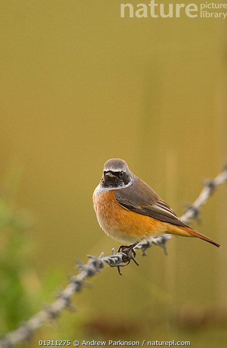 Redstart (Phoenicurus phoenicurus) perched on a barbed wire fence during autumn migration. Norfolk, UK, September (non-ex), AUTUMN,BIRDS,ENGLAND,FENCING ,MIGRATION,REDSTARTS,UK,VERTEBRATES,VERTICAL,Europe,United Kingdom, Andrew Parkinson