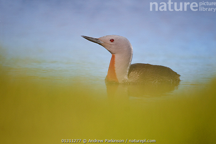 Red-throated diver (Gavia stellata) on water, close to the edge of a lochan, Shetland Islands, Scotland, UK, August (non-ex)  ,  BIRDS,DIVERS,LAKES,LOON,LOONS,SCOTLAND,SUMMER,UK,VERTEBRATES,WATER,WATERFOWL,Europe,United Kingdom  ,  Andrew Parkinson