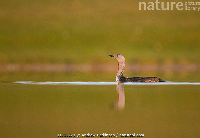 Red-throated diver (Gavia stellata) on lochan at dawn. Fetlar, Shetland Islands, Scotland, UK, August  (non-ex), BIRDS,CONCEPTS,DAWN,DIVERS,LAKES,LOON,LOONS,SCOTLAND,SUMMER,TRANQUIL,UK,VERTEBRATES,WATER,WATERFOWL,Europe,United Kingdom, Andrew Parkinson