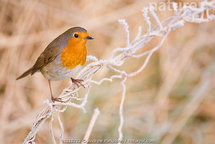 Robin (Erithacus rubecula) perched on a frosted grass stem. Scotland, UK. January. 