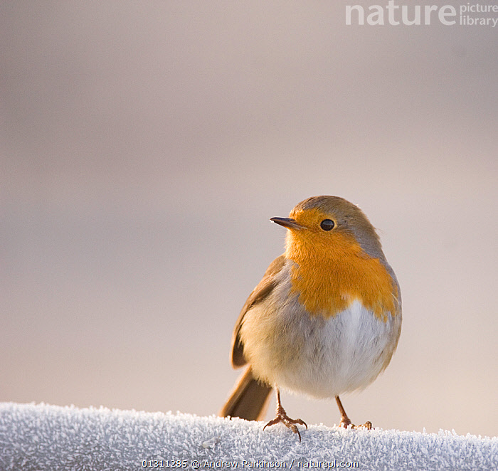 Robin (Erithacus rubecula) perched on a frost covered gate, Scotland, UK. January. 