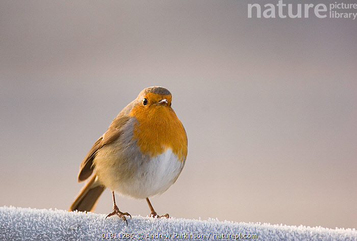 Robin (Erithacus rubecula) perched on a frost covered gate. Scotland, UK. January. 