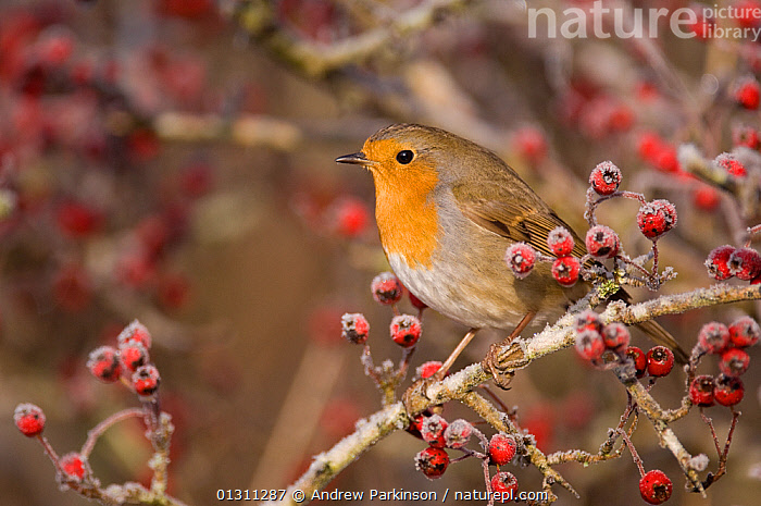 Robin (Erithacus rubecula) perched on Hawthorn branch ( Crataegus monogyna) among frost covered berries. Scotland, UK. January (non-ex), BIRDS,CHATS,CRATAEGUS MONOGYNA,FROST,FRUIT,RED,SCOTLAND,SONGBIRDS,UK,VERTEBRATES,WINTER,Weather,Plants,Europe,United Kingdom, Andrew Parkinson