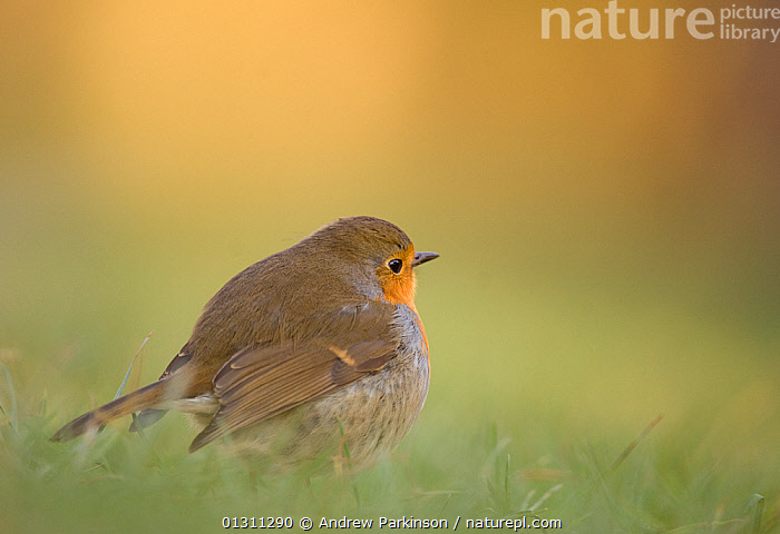 Robin (Erithacus rubecula) foraging in grass, Scotland, UK. January. 