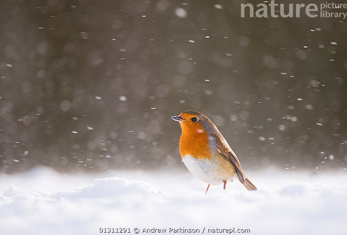 Robin (Erithacus rubecula) on snow covered ground, during snowfall. Derbyshire, UK. January. 