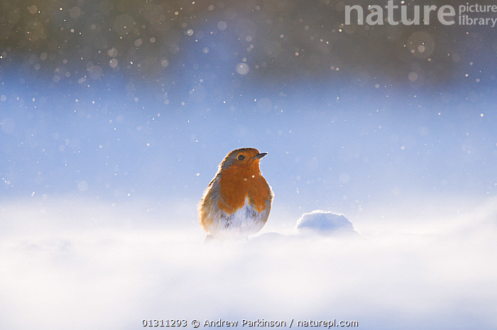 Robin (Erithacus rubecula) on snow covered ground, during snowfall. Derbyshire, UK. January. (non-ex)  ,  BIRDS,BLIZZARD,CHATS,SNOW,SNOWING,SONGBIRDS,UK,VERTEBRATES,WEATHER,WINTER,Europe,United Kingdom  ,  Andrew Parkinson