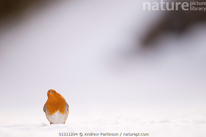 Robin (Erithacus rubecula) looking skywards as it takes a break from foraging on snow covered ground. Derbyshire, UK. January (non-ex), ALERT,BIRDS,CHATS,OBSERVING,SNOW,SONGBIRDS,UK,VERTEBRATES,WATCHING,WINTER,Europe,United Kingdom, Andrew Parkinson