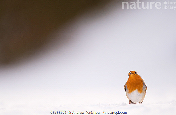 Robin (Erithacus rubecula) looking skywards as it takes a break from foraging on snow covered ground. Derbyshire, UK. January (non-ex)  ,  ALERT,BIRDS,CHATS,OBSERVING,SNOW,SONGBIRDS,UK,VERTEBRATES,VERTICAL,WATCHING,WINTER,Europe,United Kingdom  ,  Andrew Parkinson