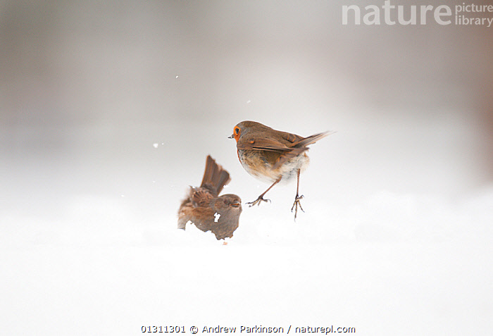 Robin (Erithacus rubecula) attacking a Dunnock (Prunella modularis) in a territorial dispute. Derbyshire, UK. January (non-ex), ACTION,AGGRESSION,BIRDS,CHATS,ENGLAND,FIGHTING,JUMPING,MIXED SPECIES,PRUNELLA MODULARIS,SNOW,TERRITORIAL,TWO,UK,VERTEBRATES,WINTER,Concepts,Europe,United Kingdom, Andrew Parkinson