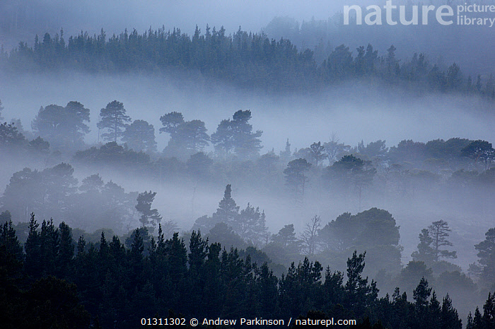 An elevated view of the extensive Rothiemurchus forest shrouded in dawn mist. Cairngorms National Park, Scotland, UK. April (non-ex), ATMOSPHERIC,CONCEPTS,DAWN,EUROPE,FORESTS,LANDSCAPES,MIST,MOUNTAINS,NP,SCOTLAND,SPRING,UK,National Park,United Kingdom, Andrew Parkinson