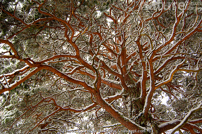 Scots pine (Pinus sylvestris) view from below of a mature tree covered in snow. Cairngorms National Park, Scotland, UK. February  (non-ex), BRANCHES,CONIFERS,GYMNOSPERMS,NP,PINACEAE,PINES,PLANTS,SCOTLAND,SNOW,UK,WINTER,National Park,Europe,United Kingdom, Andrew Parkinson