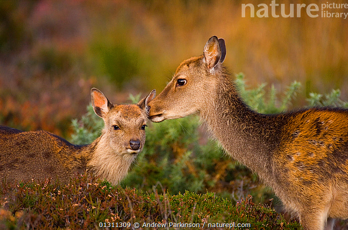 Sika deer (Cervus nippon) calf is groomed by its mother. Arne RSPB Reserve, Dorset, UK, October (non-ex), ARTIODACTYLA,AUTUMN,BABIES,CERVIDS,DEER,ENGLAND,FEMALES,JUVENILE,MAMMALS,MOTHER BABY,RESERVE,RSPB,UK,VERTEBRATES,Europe,United Kingdom, Andrew Parkinson