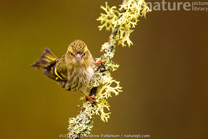 Siskin (Carduelis spinus) portrait of female perched on a lichen covered branch, facing the camera, Rothiemurchus Forest, Scotland, UK, April (non-ex), BIRDS,EYES,FEMALES,FINCHES,LICHEN,PORTRAITS,SCOTLAND,SONGBIRDS,UK,VERTEBRATES,Europe,United Kingdom, Andrew Parkinson