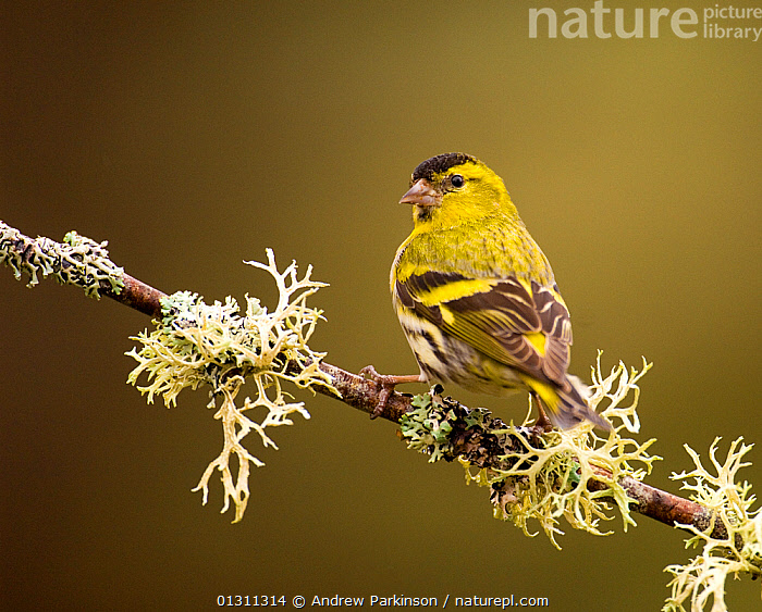 Siskin (Carduelis spinus) male peched on a lichen covered branch. Rothiemurchus Forest, Scotland, UK, April (non-ex), BIRDS,FINCHES,LICHEN,MALES,PORTRAITS,SCOTLAND,SONGBIRDS,UK,VERTEBRATES,Europe,United Kingdom, Andrew Parkinson