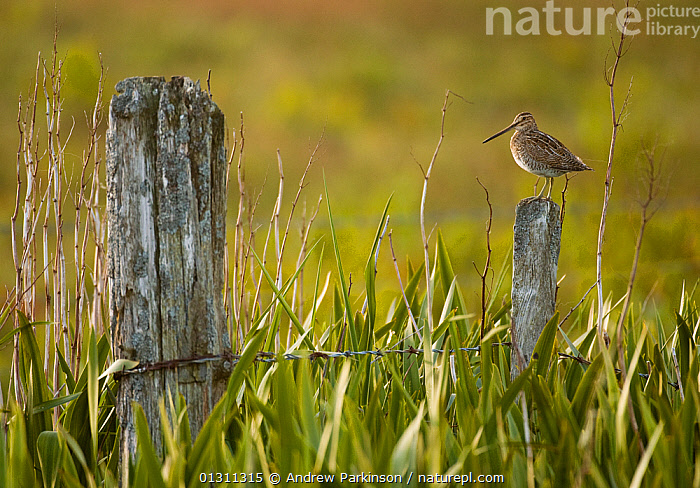 Snipe (Gallinago gallinago) perched on a post in a marshy area of Yellow Flag Iris (Iris germanica) Shetland Islands, Scotland, UK, August (non-ex), BIRDS,FENCES,IRIS GERMANICA ,ISLANDS,LICHEN,MARSHES,SCOTLAND,SNIPE,SUMMER,UK,VERTEBRATES,WADERS,Wetlands,Europe,United Kingdom, Andrew Parkinson