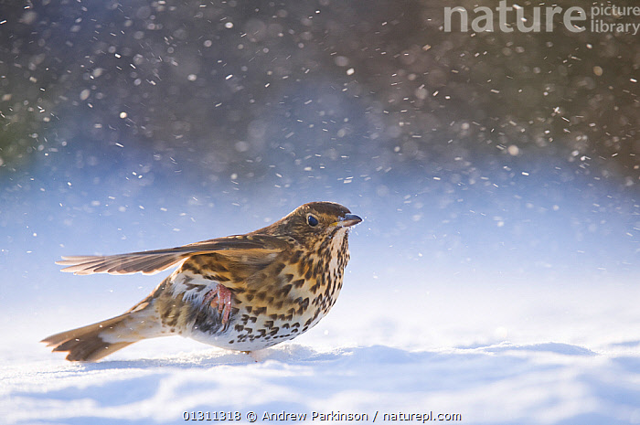 Song thrush (Turdus philomelos) backlit by evening light, among wind blown snow. Derbyshire, UK, January (non-ex), BIRDS,ENGLAND,SNOW,SONGBIRDS,THRUSHES,UK,VERTEBRATES,WEATHER,WIND,WINTER,Europe,United Kingdom, Andrew Parkinson