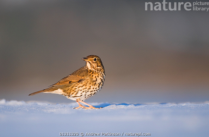 Song thrush (Turdus philomelos) foraging on snow covered ground. Derbyshire, UK, February (non-ex), BIRDS,ENGLAND,FORAGING,SNOW,SONGBIRDS,THRUSHES,UK,VERTEBRATES,WINTER,Europe,United Kingdom, Andrew Parkinson
